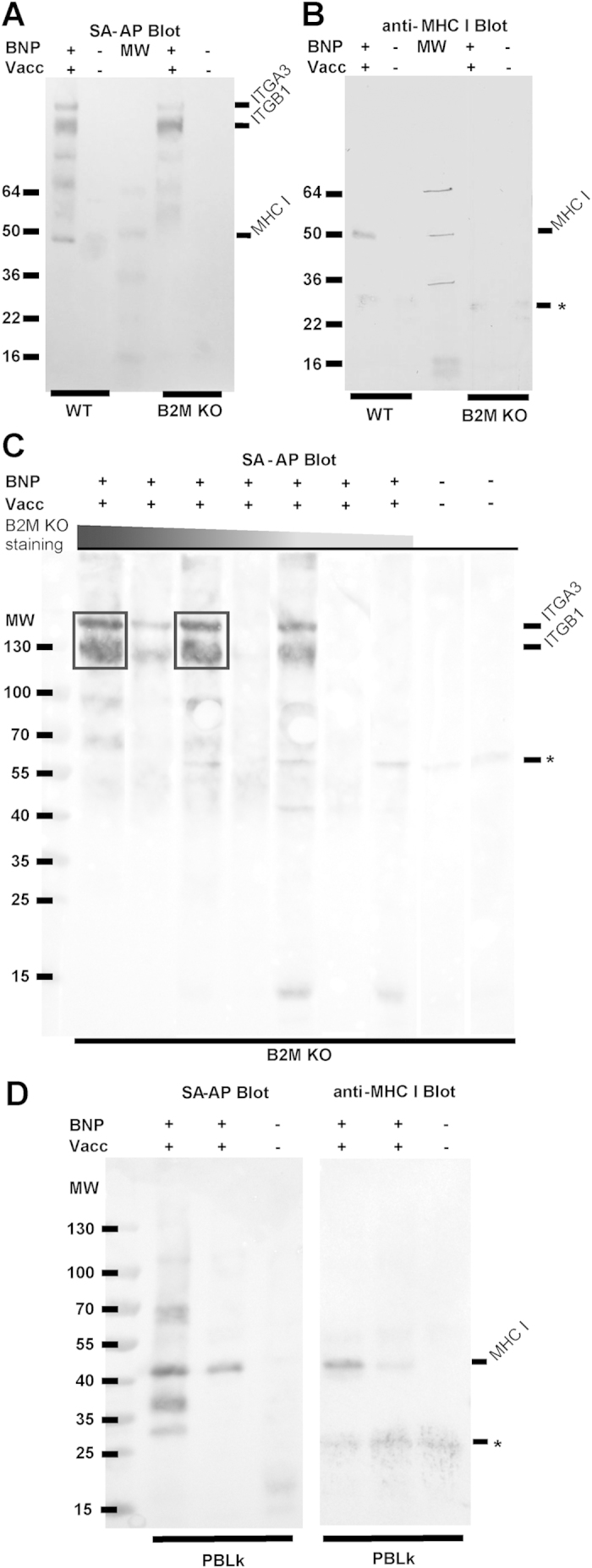 Sera from BNP dams recognize MHC class I and non-MHC class I targets. Cell surface proteins of wild-type MDBK (WT), B2M KO MDBK (B2M KO) or PBLk were <t>biotinylated</t> and subsequently stained with sera of Pregsure© BVD-vaccinated BNP dams (BNP+Vacc+) or control dams not vaccinated with Pregsure© BVD (BNP−Vacc−). After washing away unbound Abs, cells were lysed. Abs and bound Ag were precipitated using Protein G coupled dynabeads, separated by non-reducing gel electrophoresis and blotted on nitrocellulose membrane. ( a ) WT and KO MDBK cells were stained with serum from a BNP+Vacc+ dam or a BNP−Vacc− dam. Cell surface proteins were visualized using SA-AP. ( b ) As in A, but <t>immunoprecipitated</t> MHC class I was visualized using anti-bovine MHC class I mAb ILA88. ( c ) B2M KO MDBK cells were stained with sera from BNP+Vacc+ dams (n = 7) and BNP−Vacc− dams (n = 2). Cell surface proteins were visualized using SA-AP. The sera from BNP+Vacc+ dams were ranked according to alloantibody staining intensity of B2M KO MDBK cells as in Fig. 3c . Representative for two separate experiments. ( d ) PBLk from a healthy donor were stained with sera from BNP+Vacc+ dams (n = 2) or a BNP−Vacc− dam. Cell surface proteins and MHC I were visualized using SA-AP and mAb ILA88, respectively. Representative for two separate experiments with different PBLk donors. MW = Molecular weight markers (kDa). ITGB1 = integrin β1. ITGA3 = integrin α3. * = nonspecific signal. Boxes in C indicate regions that were subjected to mass spectrometry analysis.
