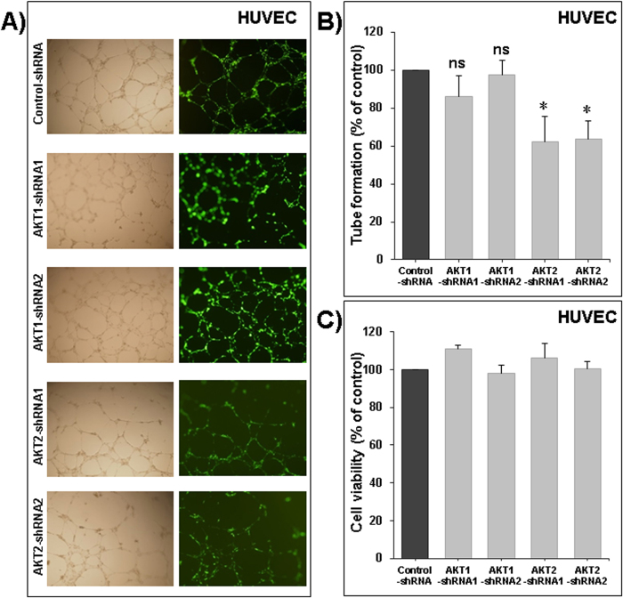 """Role of Akt1 and −2 in angiogenesis. ( A ) Formation of capillary-like structures by human umbilical vein endothelial cells (HUVECs) transduced with control-shRNA, two different design of AKT1 shRNA (Akt1-shRNA1 and Akt1-shRNA2) and two different design of AKT2 shRNA (Akt2-shRNA1 and Akt2-shRNA2) and cultured on Matrigel matrix in 96-well plates. ( B ) Quantification of tubular morphogenesis induced in HUVEC cells. Tube formation was determined by the length of tube-like structures containing connected cells. ( C ) Viable cells were assayed as described in Materials and Methods. Data are mean ± S.E.M. from three separate experiments. The """"ns"""" indicate no statistical differences. Statistical differences obtained at *P"""