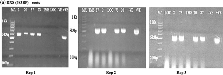 RT-PCR amplification of the DXS gene in transgenic roots obtained from rep 1, 2 and 3, respectively, showing the positive and negative lines for the DXS gene. M/L: Molecular ladder 100 bp (GeneRuler); 2, 20, 37 and 73: Transgenic lines, TMS: TMS 60444 non-transgenic cultivar; LOC: Local check ( yellow fleshed ); −VE– Negative control ; +VE– Positive control