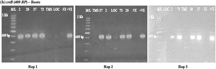 RT-PCR amplification of the crtB gene in transgenic roots in rep 1, 2 and 3, respectively, showing the positive and negative lines for the crtB gene. M/L: Molecular ladder 100 bp (GeneRuler); 2, 20, 37 and 73: Transgenic lines, TMS: TMS 60444 non-transgenic cultivar; LOC: Local check ( yellow fleshed ); −VE– Negative control ; +VE– Positive control