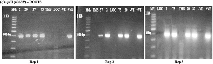 RT-PCR amplification of the npt II gene in transgenic roots in rep 1, 2, and 3, respectively, showing positive and negative lines for the npt II gene. M/L: Molecular ladder 100 bp (GeneRuler); 2, 20, 37 and 73: Transgenic lines, TMS: TMS 60444 non-transgenic cultivar; LOC: Local check ( yellow fleshed ); −VE– Negative control ; +VE– Positive control