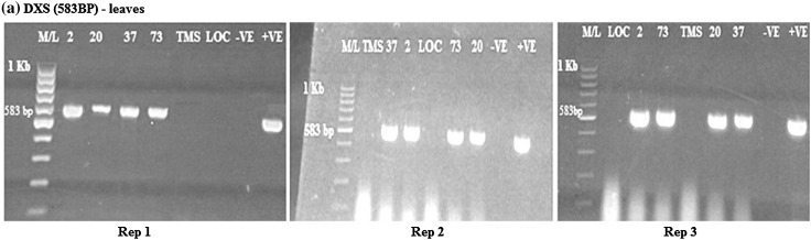 RT-PCR amplification of the DXS gene in transgenic cassava leaves in samples from rep 1, 2 and 3, respectively, showing positive and negative lines for DXS gene. M/L: Molecular ladder 100 bp (GeneRuler); 2, 20, 37 and 73: Transgenic lines, TMS: TMS 60444 non-transgenic cultivar; LOC: Local check ( yellow fleshed ); −VE– Negative control ; +VE– Positive control