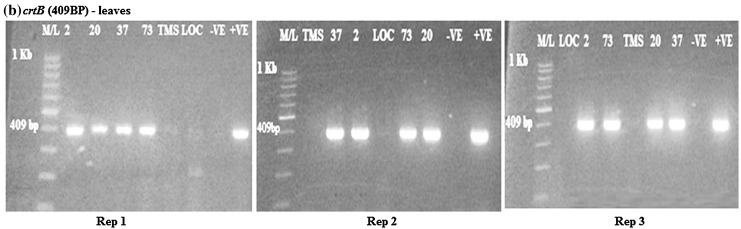 <t>RT-PCR</t> amplification of the <t>crtB</t> gene in transgenic cassava leaves samples from rep 1, 2 and 3, respectively, showing positive and negative lines for crtB gene. M/L: molecular ladder 100 bp (GeneRuler); 2, 20, 37 and 73: Transgenic lines, MS: TMS 60444 non-transgenic cultivar; LOC: Local check ( yellow fleshed ); −VE– Negative control ; +VE– Positive control