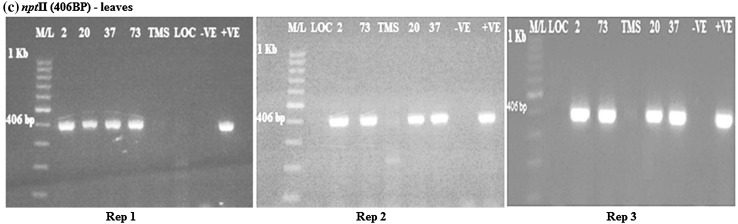 RT-PCR amplification of the npt II gene in transgenic cassava leaves samples from rep 1, 2 and 3, respectively, showing positive and negative lines for npt II gene. M/L: Molecular ladder 100 bp (GeneRuler); 2, 20, 37 and 73: Transgenic lines, TMS: TMS 60444 non-transgenic cultivar; LOC: Local check ( yellow fleshed ); −VE– Negative control ; +VE– Positive control