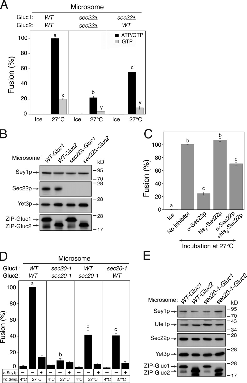 ER SNAREs are involved in Sey1p-dependent ER fusion. (A) Sec22p is involved in Sey1p-mediated ER fusion. The indicated microsomes were incubated on ice or at 27°C in the presence of GTP or ATP/GTP for 90 min. Data represent the means ± SEM (error bars; n = 3). Lowercase letters indicate statistically different groups. A Tukey's test between reactions was performed at 27°C. P