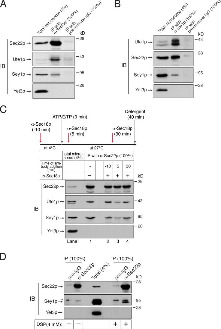 Sey1p physically interacts with ER SNAREs. (A and B) Sey1p physically interacts with the ER SNARE proteins Sec22p and Ufe1p. Microsomes isolated from BJ3505 were detergent-solubilized and incubated with anti-Sec22p antibodies (A), anti-Ufe1p antibodies (B), or preimmune IgG (control) in the presence of protein A Sepharose. Protein A Sepharose–bound material was then analyzed by immunoblotting using the indicated antibodies. (C) Sec18p regulates the interaction between Sec22p and Sey1p. BJ3505 microsomes were preincubated in the absence or presence of anti-Sec18p antibodies for 10 min at 4°C. After ATP/GTP was added, microsomes were further incubated for 40 min. During incubation, some samples received anti-Sec18p antibodies at the indicated time points. Sec22p was precipitated using anti-Sec22p antibody–conjugated Dynabeads, and bound proteins were analyzed by immunoblotting using the indicated antibodies. (D) Detection of an in vivo interaction between Sec22p and Sey1p by DSP cross-linking. BJ3505 spheroplasts were incubated in the absence or presence of 4 mM DSP for 30 min at 4°C. After DSP was quenched, detergent-solubilized spheroplasts were subjected to immunoprecipitation using anti-Sec22p antibodies or preimmune IgG (preIgG). Cross-links were cleaved using β-mercaptoethanol in SDS sample buffer, and proteins cross-linked with Sec22p were analyzed by immunoblotting using the indicated antibodies. The asterisk indicates nonspecific bands. All experiments were performed multiple times with similar results, and the data shown are representative of all results.