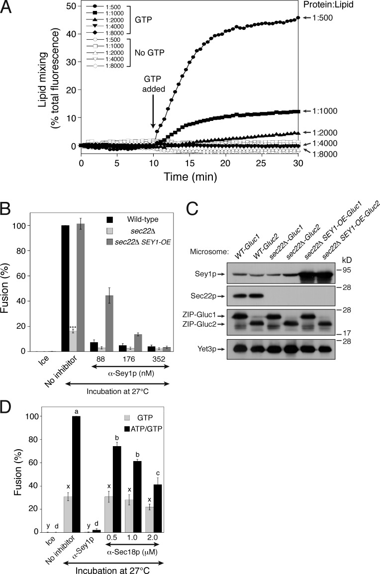 Sey1p at its physiological concentration is not sufficient to induce liposome fusion. (A) Proteoliposomes with the indicated Sey1p-to-lipid ratio were generated as described in the Materials and methods. Donor and acceptor proteoliposomes were mixed and incubated at 30°C for 10 min. After GTP and Mg 2+ were added, and NBD fluorescence was measured at 30-s intervals for 30 min. β-Octylglucoside was then added to determine total fluorescence. Fusion is expressed as the percentage of total fluorescence. All experiments were performed multiple times with similar results, and the data shown are representative of all results. (B) Overexpression of Sey1p restores fusion to sec22 Δ microsomes. The indicated microsomes were incubated on ice or at 27°C with GTP/ATP in the absence or presence of anti-Sey1p antibodies for 90 min. SEY1-OE , SEY1 overexpressor. Data represent the means ± SEM (error bars; n = 3). ***, P