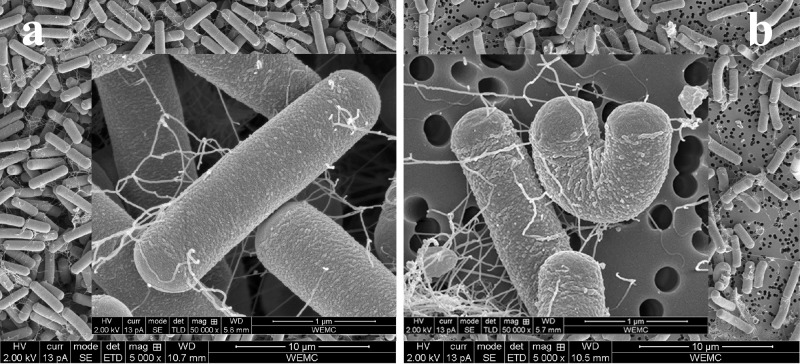 Cells of the WT and its Δ rpoN mutant. SEM images of aerobically grown overnight cultures of B . cereus ATCC 14579 WT (a) and its Δ rpoN mutant derivative (b) in BHI at 30°C.