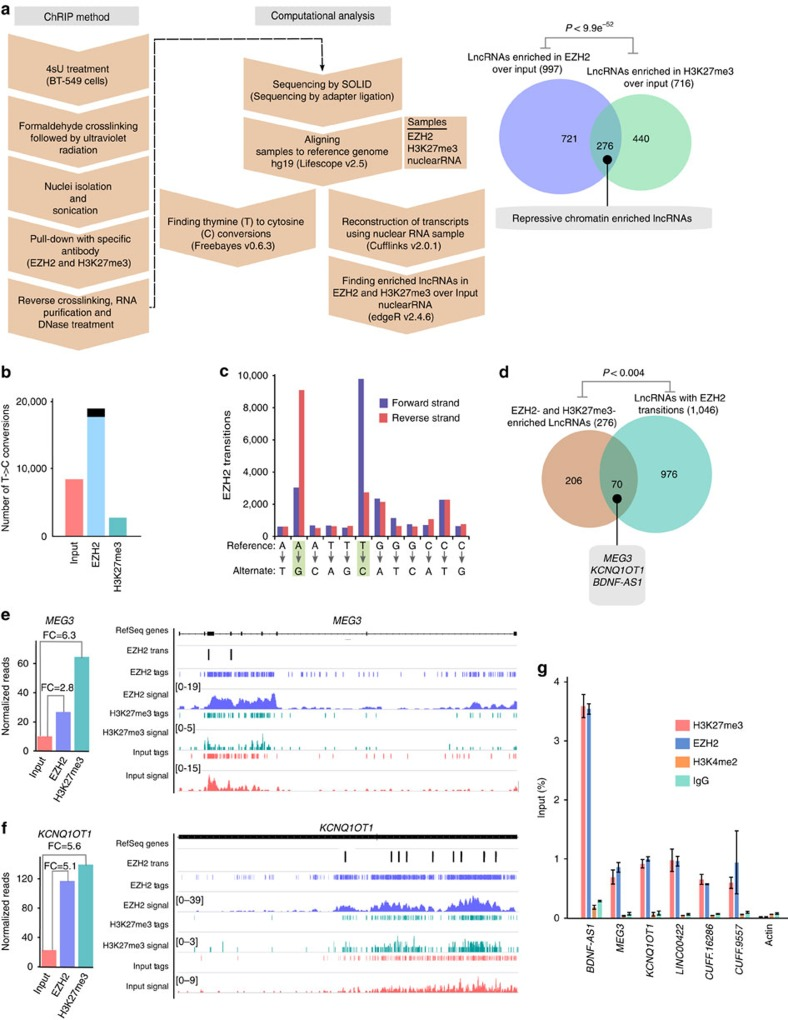 Identification of repressive chromatin-associated lncRNAs using <t>ChRIP-seq.</t> ( a ) The ChRIP-seq analysis pipeline used to identify lncRNAs enriched in repressive chromatin. The pie chart shows 276 lncRNAs enriched in both EZH2 and H3K27me3 ChRIP-seq samples compared with the nuclear <t>RNA</t> (input). The P value was obtained by performing a hypergeometric test using all the lncRNAs in our analysis. ( b ) Bar diagram showing the distribution of T-to-C transitions (indicative of putative RNA–protein contact sites) in input (8,361), EZH2 (18,905) and H3K27me3 (2,651) ChRIP-seq data. Black in the EZH2 bar indicates the number of T-to-C transitions (1,253) that are either present in input or H3K27me3 samples, and blue indicates EZH2-specific T-to-C transitions (17,652). The EZH2-specific T-to-C transitions (17,652) were used to associate with lncRNAs. ( c ) All the possible conversions present in the EZH2 ChRIP-seq sample. T-to-C conversion and the reverse-strand A-to-G conversions were predominant among all the possible conversion events. ( d ) LncRNAs (1,046; annotated and non-annotated) harbour EZH2-specific (17,652) T-to-C conversion site. Seventy repressive chromatin-enriched lncRNAs (out of 276) carry T-to-C transitions, including known PRC2-interacting lncRNAs such as MEG3 , KCNQ1OT1 and BDNF-AS1. The P value was obtained by performing a hypergeometric test using all the lncRNAs considered in our analysis. ( e,f ) The distribution of the sequencing reads on MEG3 and KCNQ1OT1 transcripts from H3K27me3, EZH2-enriched chromatin fractions and input RNA samples. The tags represent the read distribution and the signal represents the intensity of reads over MEG3 and KCNQ1OT1 transcripts. Locations of T-to-C transitions over the exons are depicted below the physical maps. The left panel depicts the RPKM (Reads per kilobase per million) for MEG3 and KCNQ1OT1 in H3K27me3, EZH2 ChRIP RNA and input RNA samples. The fold enrichment (FC) in H3K27me3 and EZH2 ChRIP RNA c
