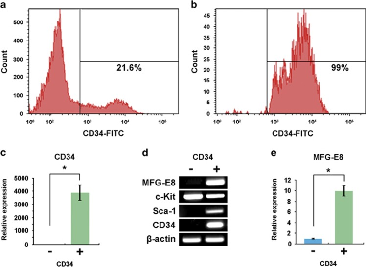 Expression of milk fat globule-EGF-factor 8 (MFG-E8) in CD34 + cells in the fetal liver. ( a and b ) Flow cytometric analysis of CD34 + cells in the developing liver before ( a ) and after ( b ) purification with anti-CD34 antibody. ( c ) quantitative PCR (qPCR) analysis of sorted cells for the expression of Cd34 . Cd34 expression in the CD34 + fraction was presented as relative expressions (fold changes) over CD34 − fraction after normalization to β-actin expression. * P