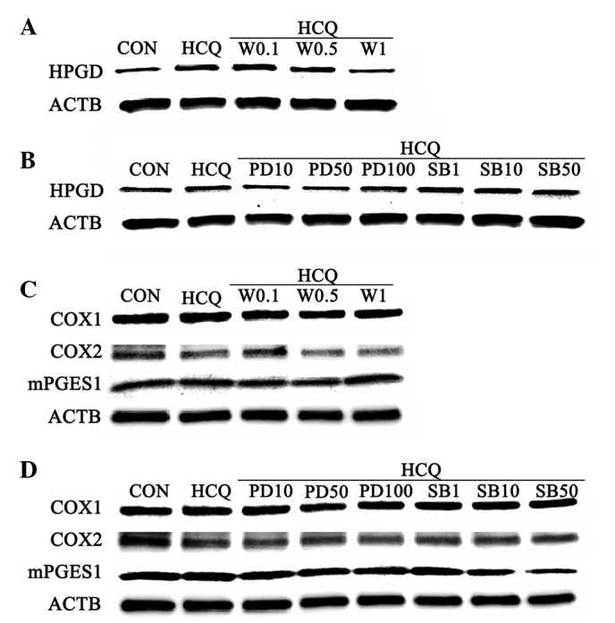 Expression levels of HPGD, COX and mPGES1 following HCQ stimulation by wortmannin, PD98059 and <t>SB203580.</t> The RA-FLS were serum-starved for 2 h and subsequently treated with HCQ (10 µ M) for 24 h. Wortmannin (0.1, 0.5 and 1 nM), PD98059 (10, 50 and 100 µ M) and SB203580 (1, 10 and 50 µ M) were added 0.5 h prior to HCQ stimulation. The expression levels of (A and B) HPGD and (C and D) COX1, COX2 and mPGES1 in RA-FLS following the different treatments. RA-FLS, rheumatoid arthritis fibroblast-like synoviocytes; CON, control; HCQ, hydroxychloroquine; W, wortmannin; PD, PD98059; SB, SB203580; HPGD, 15-hydroxyprosta-glandin dehydrogenase; ACTB, β-actin; COX, cyclooxygenase; mPGES1, microsomal prostaglandin E2 synthase 1.