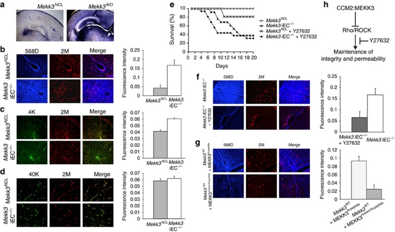 MEKK3 critically regulates the neonatal vascular permeability to small size molecule via suppressing the Rho signals. ( a – d ) In vivo leakage experiments show only small-molecular-weight tracers leaked from brain microvessels in Mekk3 iKO and iEC −/− neonatal mice. ( a ) Sulfo-NHS-biotin (556.6 dalton) was injected into the hearts of the tamoxifen-treated Mekk3 NCL or Mekk3 iKO neonatal pups. Brain sections were analysed for Sulfo-NHS-biotin leakage by staining. Objective lens power: 2.5 × . ( b – d ) Fluorescent-labelled tracers with different molecular weights were injected into tamoxifen-treated Mekk3 NCL or Mekk3 iEC −/− P7 neonatal pups' hearts. After euthanization, brains were fixed and sectioned and tracer leakage to the brain was determined. ( b ) Hoechst 33342 (616 dalton; blue) plus Dextran–Rhodamine (2 M Dalton; red), N =7, ( c ) Dextran–FITC (MW: 4K Dalton; green) plus Dextran–Rhodamine (2 M Dalton)(red), N=4, ( d ) Dextran–FITC (40 K Dalton; green) plus Dextran–Rhodamine (2 M Dalton; red). Bar graphs on the left of each panel show quantification of the relative leakage of the tracers normalized to the intensity of Dextran–Rhodamine, and shows no leakage in either NCL nor Mekk3 iEC −/− neonatal pups. Error bars indicate s.d. N =4. Objective lens power: 10 × . ( e ) ROCK inhibitor Y27632 partially rescues survival of Mekk3 iEC −/− neonatal pups. NCL or Mekk3 iEC −/− pups were treated with tamoxifen at P1, and continued daily in the absence (open circle and black diamond, respectively) or presence of Y27632 (cross and black triangle, respectively). Survival of pups was monitored daily until P20. ( f ) Hoechst 33342 (616 Dalton; blue) plus Dextran K–Rhodamine (2 M Dalton; red) were injected into tamoxifen-treated Mekk3 iEC −/− P7 neonatal pups' hearts fed either with water or Y27632. After euthanization, brains were fixed and sectioned at 30-μm thickness and leakage determined as described above. N =5. Objective lens power: 10 × . ( g ) Wild-type P7 neona