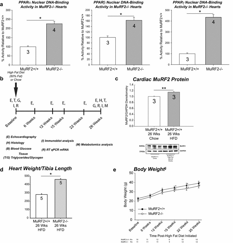 Role of MuRF2 in regulating PPAR isoform activity and its role in high fat diet cardiac hypertrophy in vivo. Isolation of cardiac nuclei from MuRF2−/− and sibling wild type mouse hearts revealed increases in a PPAR∝, PPARβ/δ, and <t>PPARγ</t> DNA binding activity using PPRE-DNA as bait and ELISA detection of PPARα protein (N = 4/group). b Experimental design of high fat diet (60%)-induced cardiomyopathy. c High fat diet induces cardiac MuRF2 levels after 26 weeks HFD (N = 3/group). d Endogenous MuRF2 inhibits HFD-induced LV Mass and heart wet weights, as MuRF2−/− hearts have a significant increase in heart weight normalized to body weight and tibia length (N = 5/group). e Endogenous MuRF2, found in skeletal muscle and the heart does not affect overall body weight (N indicated below graph). Values expressed as Mean ± SE. Statistical analysis was performed using a Student's t-test comparing MuRF2−/− and MuRF2+/+ groups. *p ≤ 0.001, **p