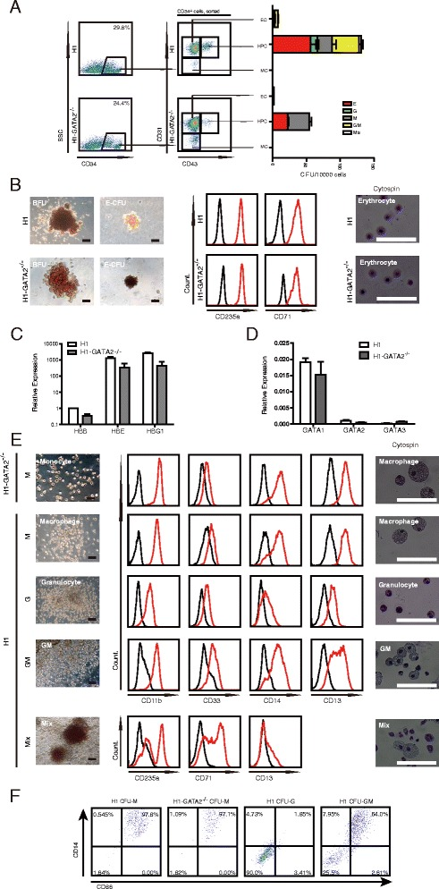 Characterization of subtype blood lineages from H1 or H1- GATA2 −/− derived HPCs. a CFU potential cells from H1 or H1- GATA2 −/− were restricted within CD34 + CD43 + subpopulations. EC endothelial cells, MC mesenchymal cells. b Characterization of erythrocytes from H1 or H1- GATA2 −/− . From left to right : phase-contrast photographs of BFU and CFU-E, FACS analysis of CD235a and CD71a expression on H1 and H1- GATA2 −/− derived erythrocytes, and cytospin of H1 and H1- GATA2 −/− derived erythrocytes. c Globin analysis of erythrocytes by RT-qPCR. The results showed the mean + SEM of one single experiment with three replicates, representative of three independent experiments. d Analysis of expression of GATA1, GATA2, and GATA3 in H1 or H1- GATA2 −/− derived erythrocytes. The results showed the mean + SEM of one single experiment with three replicates, representative of three independent experiments. e Characterization of myeloid cells from H1 or H1- GATA2 −/− . Left : morphologies of indicated CFU colonies; middle : FACS analysis of indicated markers; right : cytospin photographs of indicated colonies. f FACS analysis of CD86 and CD14 expression in H1 and H1- GATA2 −/− derived myeloid CFU. E erythrocyte, G granulocyte, M macrophage, GM G and M, Mix G, E, and M
