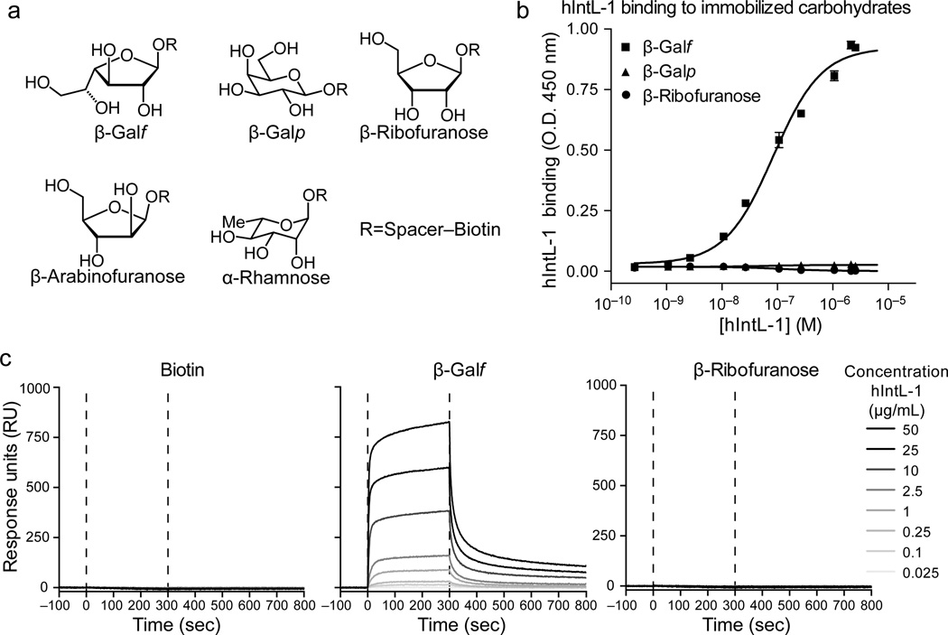 hIntL-1 selectivity for monosaccharides. ( a ) Structures of saccharides used for characterization of hIntL-1 by ELISA and SPR. ( b ) The specificity of hIntL-1 for β-Gal f , β-ribofuranose (β-Rib f ) and β-galactopyranose (β-Gal p ) evaluated by ELISA (See Supplementary Fig. 1b for schematic). Data are presented as the mean ± s.d. ( n =3 technical replicates, data are representative of > 3 independent experiments). Data were fit to a single site binding equation (solid lines) and therefore represent the apparent (App) affinity of trimeric hIntL-1. Values for hIntL-1 bound to immobilized β-Gal f ( K d(App, Trimer) ± s.d.) are 85 ± 14 nM or 8.0 ± 1.3 µg/mL. ( c ) Representative real-time SPR sensorgrams of hIntL-1 binding to immobilized carbohydrates. Biotin served as a control. The SPR complete data set is available in Supplementary Fig. 1e .
