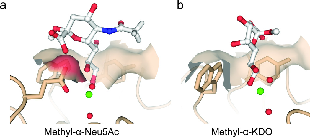 Models for hIntL-1 interacting with relevant saccharide epitopes from humans (α-Neu5Ac) or microbes (α-KDO). ( a ) Docking of methyl-α-Neu5Ac into the hIntL-1 structure. The conformation shown is similar to that observed in other protein structures with a methyl-α-Neu5Ac ligand (PDB: 2BAT, 2P3I, 2P3J, 2P3K, 2I2S, 1KQR, 1HGE, 1HGH (refs. 56 – 60 )). All models in this figure were generated from the allyl-β- d -Gal f –bound structure by docking the relevant diol of each compound into the Gal f diol electron density using Coot without further refinement. Calcium ions are shown in green and ordered water molecules are depicted in red. ( b ) Docking of methyl-α-KDO into the hIntL-1 structure. Comparison with methyl-α-Neu5Ac docked into the hIntL-1 structure reveal differences in the steric requirements for binding for each molecule.