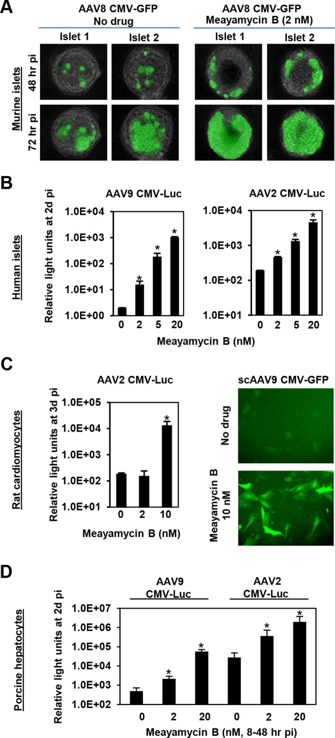 Meayamycin B increases AAV vector transduction of clinically relevant cell types. (A) Primary mouse islets were infected with AAV8 CMV-GFP in the presence or absence of 2 nM meayamycin B, and GFP expression was monitored for three days. (B) Primary human islets were treated with AAV2 or AAV9 CMV-Luc vectors for 7 hours and then treated with 0, 2, 5 or 10 nM meayamycin B. Luciferase expression was analyzed 48 hours p.i. (C) Neonatal rat cardiomyocytes were infected with AAV2 CMV-Luc or scAAV9 CMV-GFP vectors and treated with meayamycin B, 3 hours p.i. Luciferase activity was measured 3 days p.i., while GFP expression was monitored at 5 days p.i. (D) Porcine hepatocytes were infected with AAV2 or AAV9 CMV-Luc vectors for 8 hours, virus was then removed and cells were treated with 0, 2, or 20 nM meayamycin B. Cells were harvested 48 hours p.i. for the luciferase assay. In A-D, an MOI of 10 4 was used.