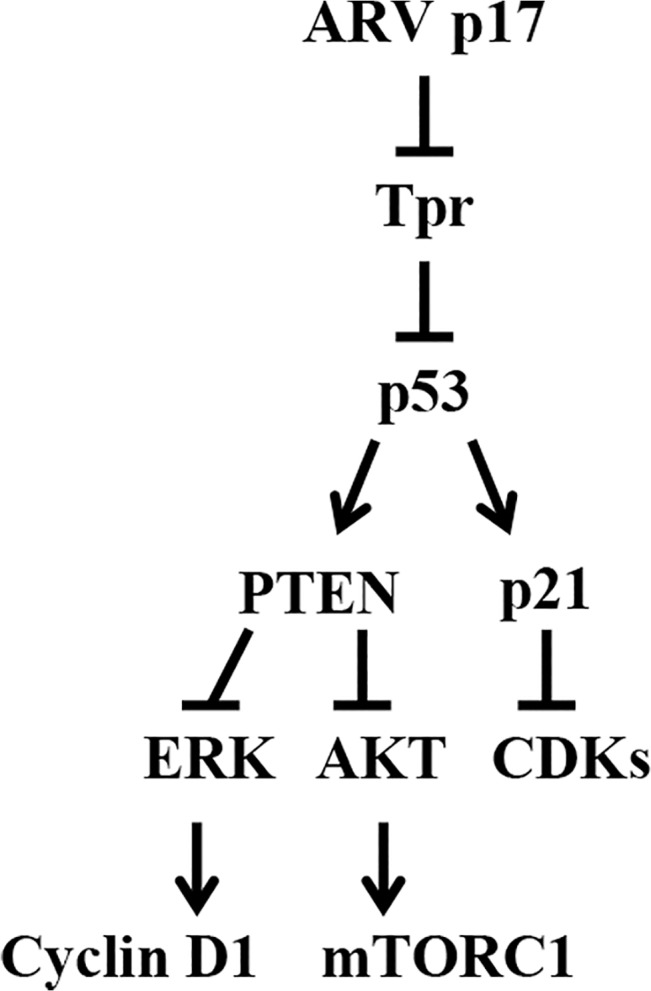 A model depicting the mechanisms of p17 modulating Tpr, p53, AKT, p21, PTEN, mTORC1 that govern cell cycle and autophagosome formation. This study establishes a new regulatory network of p17 linking Tpr, p53, p21, PTEN, mTORC1, and Rb. p17 suppresses Tpr leading to p53 and p21 nuclear accumulation, which in turn activates p53, p21, and PTEN. Furthermore, it also serves as a positive regulator of PTEN. Activation of PTEN leads to inhibition of ERK and AKT that result in mTORC1 inhibition as well as cyclin D1 and CDK 4 inhibition, leading to Rb activation. This study provides evidences demonstrating that p17 regulates cell cycle through Tpr/p53/PTEN/AKT and Tpr/p53/p21 signaling pathways. By suppressing Tpr, p17 is able to negatively regulate PI3K/AKT/mTORC1 and consequently induce cellular translation shutoff and autophagosome formation enhancing virus replication. →: activation;⊥: Inhibition.