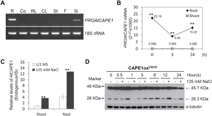 Production of AtCAPE1 is mainly derived from root tissues and is regulated by salt. (A) Transcriptional levels of PROAtCAPE1 in different tissues were determined by RT-PCR. Total RNA was extracted from root (R), cotyledon (Co), ros ette leaf (RL), cauline leaf (CL), stem (St), flower (F) and silique (Si). 18S rRNA transcripts were used as internal control. (B) Salt response of the transcriptional levels of PROAtCAPE1 in shoots and roots. Ten-d-old seedlings of wild type (Ler) were treated with 125mM NaCl for 0, 3, and 24h. The transcripts of PROAtCAPE1 from the harvested roots and shoots were determined by RT-qPCR. Shown are the average values of (2 -∆Ct x1000) from four biological repeats. Error bars, means±SE ( PROAtCAPE1 transcripts in shoots versus PROAtCAPE1 transcripts in roots at different time points; Student's t -test, ** P ≤0.01). (C) Relative level of endogenous AtCAPE1 in shoots and roots. Seedlings grown for 24h without (1/2 MS) and with 125mM NaCl were subjected to quantitative LC-MS/MS analysis. IS, internal standard. The average values from two biological repeats are shown. Error bars, means±SE. Asterisks indicate statistically significant differences between salt-treated and untreated samples (Student's t -test; ** P ≤0.01). (D) Post-translational regulation of AtCAPE1 production. Protein extracts from the transgenic lines (CAPE1ox CNYD ) harbouring the AtCAPE1-eYFP fusion grown with (+) and without (-) 125mM NaCl for the indicated times were subjected to western blot analysis. The upper and lower bands with approximate size of 45.7 KDa and 26.3 KDa represent the expected size of the PROAtCAPE1-eYFP fusion protein and the AtCAPE1-eYFP fusion protein, respectively. The fusion proteins were detected by anti-GFP antibody. α-tubulin, loading control.