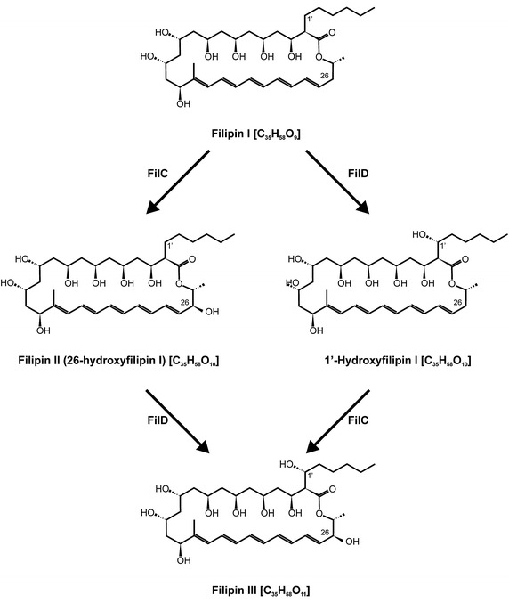 Two alternative routes on filipin III biosynthesis in S. filipinensis.