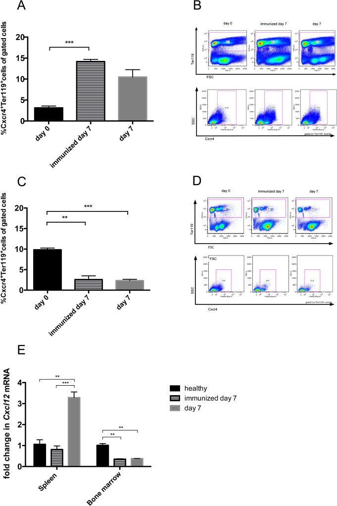 Cxcr4 expressing erythroid progenitors seem to migrate from the bone marrow to the spleen following a Cxcl12 gradient in immunized and nephritic mice. Spleens (A, B) and bone marrow (C, D,) of healthy (black bars, n = 3), immunized (lined bars, n = 4) and nephritic mice on day 7 (grey bars, n = 4) were evaluated for <t>Ter119</t> + Cxcr4 + cells by performing relative flow cytometry. The expression of Cxcl12 mRNA was evaluated by quantitative real-time PCR of total RNA from spleens and bone marrow of healthy, immunized and nephritic mice on day 7 (E). Data are given as means ± SEM. *p
