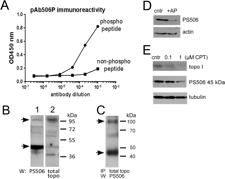 Specificity of pAb506P. (A) Comparative titration curves of pAb506P on ELISA plates coated with a topo I peptide surrounding the serine 506 site, either in its phosphorylated or non-phosphorylated form. (B) Western analyses of H358 cell lysates (100 μg/lane) probed with pAb506P (lane 1) or with goat anti-topo I (lane 2). Arrows indicate positions of the 45 kDa species and full length topo I. (C) Topo I immunoprecipitation (goat anti-topo I C-terminus) followed by pAb506P Western of H358 cell lysates. Lane represents 200 μg starting material. (D) Western analysis of PS506 and actin in H358 cell lysates before (cntr) and after treatment with alkaline phosphatase (AP). (E) Western analysis of PS506 (using pAb506P), full length topo I (using goat anti-topo I) and <t>tubulin</t> in H358 cells before and after a 24 hr treatment of cells with 0.1 or 1 μM CPT.