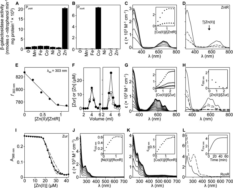 Characterization of Salmonella ZntR, Zur, and RcnR. β-Galactosidase activity in wild type Salmonella (defined earlier) containing P zntA ( A ) or rcnR- P rcnA ( B ) fused to lacZ following growth to mid-exponential phase in the absence or presence of MNIC MnCl 2 , C 6 H 5 FeO 7 , CoCl 2 , NiSO 4 , CuSO 4 , or ZnSO 4 . C , apo-subtracted UV-visible difference spectra of ZntR (24.9 μ m , monomer) upon titration with CoCl 2 . Inset, binding isotherms at 314 nm ( circles ) and 650 nm ( triangles ). D , apo-subtracted UV-visible difference spectra of Co(II)-ZntR (24.0 μ m , monomer; equilibrated with 1 m eq CoCl 2 ) ( solid line ), and following addition of 0.5 and 1 m eq of ZnCl 2 ( dashed lines ). E , fluorescence emission of ZntR (13.1 μ m , monomer) following titration with ZnCl 2 . F , analysis of fractions (0.5 ml) for protein by Bradford assay ( open circles ) and zinc by ICP-MS ( filled circles ) following size exclusion chromatography of Zur (0.5 ml at 20 μ m , monomer) preincubated with 1 m m EDTA ( left panel ) or 120 μ m ZnCl 2 ( right panel ). G , apo-subtracted UV-visible difference spectra of Zur (24.8 μ m , monomer) upon titration with CoCl 2 . Inset, binding isotherms at 350 nm ( circles ), 576 nm ( triangles ), and 670 nm ( squares ). H , apo-subtracted UV-visible difference spectra of Zur (27.7 μ m , monomer; equilibrated with 2 m eq of CoCl 2 ) ( solid line ) and following titration with ZnCl 2 ( dashed lines ). Inset, quenching of feature at 350 nm. I , representative ( n = 3) mag fura-2 absorbance upon titration of mag fura-2 (12.1 μ m ) with ZnCl 2 in the presence of Zur (11.7 μ m , monomer). Solid line describes competition from Zur for 2 eq of Zn(II) per monomer (four exchangeable sites per dimer, with three independent binding events: K Zn1–2, K Zn3 , and K Zn4 ). Dashed lines are simulated curves with K Zn4 10-fold tighter and 10-fold weaker than fitted K Zn4 ( K Zn1–2 and K Zn3 fixed to fitted values). J , apo-subtracted UV-visible difference 
