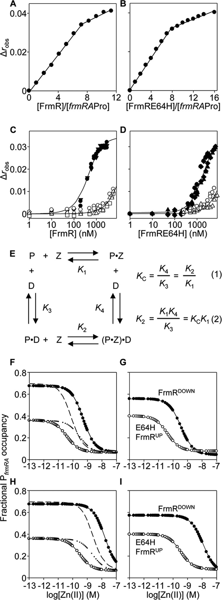 Zn(II) weakens K DNA of FrmR and FrmRE64H and its effect on DNA occupancy. Anisotropy change upon titration of a high concentration of frmRA Pro (2.5 μ m ) with FrmR ( A ), FrmRE64H ( B ), or a limiting concentration of frmRA Pro (10 n m ) ( C ) with apo-FrmR in the presence of 5 m m EDTA ( closed symbols ) or Zn(II)-FrmR in the presence of 5 μ m ZnCl 2 ( open symbols ). D , as C but using FrmRE64H. Symbol shapes represent individual experiments. Data were fit to a model describing a 2:1 protein tetramer (nondissociable):DNA stoichiometry (binding with equal affinity), and lines represent simulated curves produced from the average K DNA determined across the experimental replicas shown. E , coupled thermodynamic equilibria (assuming a closed system) describing the relationship between FrmR tetramer ( P ), Zn(II) ( Z ), and P frmRA ( D ) ( 9 , 65 , 66 ). The coupling constant ( K C ) is determined from the ratio K 4 / K 3 ( K DNA Zn(II)·FrmR / K DNA FrmR ) ( Equation 1 ) and used to calculate K 2 (the Zn(II) affinity of the DNA-bound protein, K Zn(II) FrmR·DNA ) from K 1 (K Zn(II) FrmR ) (Equation 2). F, calculated fractional occupancy of P frmRA with FrmR ( filled circles ) and FrmRE64H ( open circles ) as a function of (buffered) [Zn(II)], which incorporates the determined FrmR or FrmRE64H abundance, K Zn(II) sensor (off DNA), and K DNA ( Table 1 ). Additional lines represent hypothetical fractional occupancy of P frmRA with FrmRE64H but substituting K Zn(II) ( dotted ) or K DNA ( dashed ) for that of FrmR. G, as F but using the determined abundance for FrmR DOWN ( solid symbols ) and FrmRE64H UP ( open symbols ). H and I , as F and G , respectively, except using K Zn(II) sensor·DNA (on-DNA) (calculated using the equations in E ).
