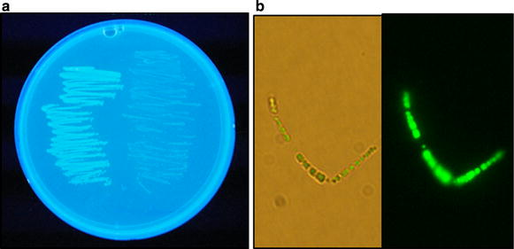 Fluorescence of PHB-producing cells grown on a LipidGreen-containing agar plate. a Fluorescence staining of PHB-producing and PHB-nonproducing cells on an agar plate. E. coli harboring pPhaCAB ( left side of the plate) had bright fluorescence under UV light (302 nm) in contrast to E. coli containing pBluescript II SK+ vector ( right side of the plate) exhibiting a much weaker fluorescence than above. b Microscopic observation of E. coli stained by LipidGreen1 on agar plates. The cell suspension in PBS buffer was placed on a glass slide to obtain optic ( left ) and fluorescent ( right ) images. The images were viewed under the fluorescence microscope (×1,000 amplification) with a green fluorescence filter.