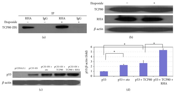 TCP80 and RHA interact in vivo and cooperatively stimulate p53 expression in MCF-7 cells. (a) TCP80 has increased binding with RHA following DNA damage in MCF-7 cells. Subconfluent MCF-7 cells were treated with or without 10 μ M etoposide for 2 hours and then lysed with TGN buffer [ 8 ]. RHA was immunoprecipitated from the cell lysate as described in experimental procedures. The precipitated beads were then washed three times with TGN lysis buffer and SDS sample loading buffer was added. The samples were subjected to SDS-PAGE. An immunoblotting experiment was then performed to detect the TCP80 protein. The results presented are representative of three individual experiments. (b) Levels of TCP80 and RHA protein do not change following exposure to DNA damage in MCF-7 cells. MCF-7 cells were treated with 10 μ M etoposide for 2 hours and then lysed with TGN lysis buffer. The samples were subjected to SDS-PAGE. TCP80, RHA, and β -actin were detected by their respective antibodies. The results presented in (a) and (b) are representative of three individual experiments. (c) Overexpression of TCP80 and RHA leads to increased p53 expression in H1299 cells transfected with the pC53-SN3 vector. H1299 lung carcinoma cells (p53-null) were cotransfected with the p53 expression vector pC53-SN3 along with the empty pCDNA 3.1 vector, the TCP80 expression vector, or the TCP80 plus RHA expression vector. Twenty-four hours after transfection, the cells were treated with or without etoposide for 2 hours. Cells were then lysed, and equal amounts of protein were subjected to SDS-PAGE and transferred to a nitrocellulose membrane. The p53 protein and β -actin were then detected by their respective antibodies. (d) Statistical analysis of the expression levels of p53 (p53/ β -actin) between individual groups as shown in (c) was performed using one-way ANOVA with a Newman–Keul post hoc test from 4 sets of experimental results. Significance was assumed at ∗ P