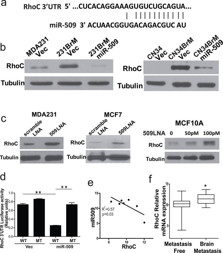 miR-509 directly targets RhoC (a) Schematic representation of the RhoC 3'-UTR with a miR-509 binding site. (b) 231BrM (left panel) and CN34BrM (right panel) were infected with lentivirus expressing pre-miR-509 or vector only, and the expression of RhoC was examined by Western blot. (c) MDA231 (left panel) and MCF7 (middle panel) were transfected with miR-509 LNA (50pM) or scramble LNA, and the expression of RhoC was examined by Western blot. MCF10A (right panel) was transfected with various doses of miR-509 LNA, and the expression of RhoC was examined by Western blot. (d) Constructs carrying RhoC 3' UTR luciferase reporter (WT) or deletion mutant of miR-509 binding site (MT) were transfected to 293TN cells with the miR-509 expression plasmid or vector plasmid. Cells were harvested and luciferase activities were measured after 24hrs transfection. (e) Expression of miR-509-5p and TNFα were measured by TaqMan PCR in brain metastasis samples after micro-dissection. The relative expression level of miR-509-5p to RNU48 and the expression level of RhoC to ACTB were plotted (n=7). (f) RhoC mRNA expression was measured between the primary tumors with or without brain metastasis in a combined GEO data bases (GSE12276, GSE2034, GSE2603, GSE5327, and GSE14020). * indicates p