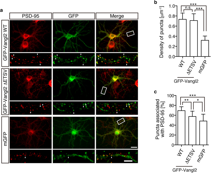 Punctate and synaptic localisations of Vangl2 with or without PDZ-binding motif. ( a ) Rat hippocampal neurons were transfected with the indicated expression plasmids (upper: GFP-Vangl2 WT, middle: GFP-Vangl2 ΔETSV, lower: mGFP) and cultured for 21 days. GFP fluorescence (green), <t>α-PSD-95</t> immunofluorescence (IF; red) as well as their merged images are presented. Note the punctate localisation of GFP-Vangl2 ΔETSV and the mostly flat signals of mGFP. ( b ) Bar graphs showing the density of the GFP puncta that were formed by the indicated expression constructs along the dendrites. Note the similar levels of puncta formation between GFP-Vangl2 WT and ΔETSV. ( c ) Bar graphs showing the ratio of the PSD-95-associated population of formed GFP puncta for each expression construct. Note that the clusters of Vangl2 ΔETSV are more associated with PSD-95 than those of the simply membrane-tethered protein (mGFP). The highly magnified images of the delimited region are shown in the respective lower panels. Some examples of the co-localised puncta are indicated with arrowheads. The data are presented as mean ± SD. Significant (p