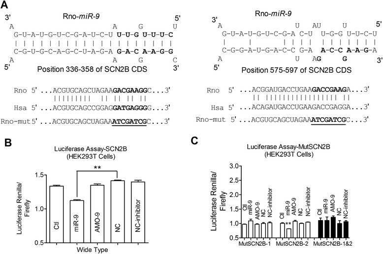 miR-9 regulates SCN2B evaluated by luciferase array.  a , Complementarity between miR-9 seed-matched sequence and the region coding for Navβ2 predicted by a computational and bioinformatics-based approach using RNA22/RNAhybrid. Two binding sites were found at the position of 336–358 of SCN2B CDS and the position of 575–597 of SCN2B CDS. The mutation made to genes are underlined.  b , Luciferase reporter gene assay for interactions between miR-9 and its binding sites in the CDS region of the Navβ2 mRNA in HEK293T cells. Cells were transfected with luciferase-target motif chimeric vector alone, miR-9, AMO-9, or scramble negative control (NC) using lipofectamine 2000. ** P