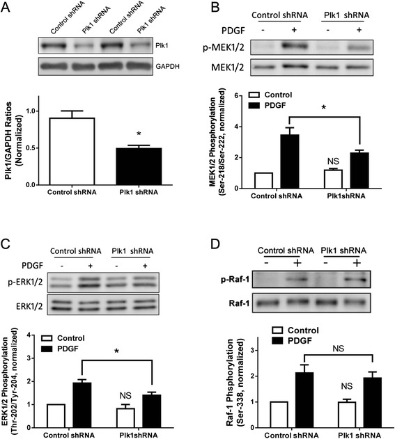 Knockdown (KD) of Plk1 attenuates the PDGF-induced phosphorylation of MEK1/2 and ERK1/2, but not <t>Raf-1</t> phosphorylation. a Representative immunoblots illustrating the effects of Plk1shRNA on Plk1 expression. Blots of HASM cells infected with lentiviruses encoding control shRNA or Plk1 shRNA were probed with antibodies against Plk1 and GAPDH. Duplicated samples of each treatment are shown. Ratios of Plk1/GAPDH protein in cells producing Plk1 shRNA were normalized to ratios obtained from cells producing control shRNA. Values are mean ± SE ( n = 4). *Significantly lower Plk1/GAPDH ratios in cells producing Plk1 shRNA compared with cells producing control shRNA ( P