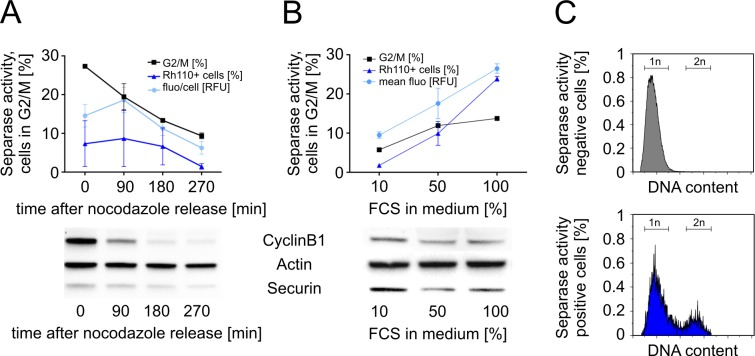 Separase activity during mitotic progression in U937 cells. (A) U937 cells arrested in G2/M by nocodazole were monitored by flow cytometry at 0, 90, 180, and 270 min after release from the nocodazole block. (B) Influence of FCS supplementation on Separase activity and mitotic progression. After serum starvation cells were incubated with increasing percentages (10%, 50%, 100%) of FCS for 90 min before flow cytometric analysis. Potential extracellular FCS-born Separase-unrelated proteolytic activity was inhibited by a cocktail of peptidase inhibitors (PI mix ) as measured by cell lysate-based assay. Separase proteolytic activity was monitored as released Rh110 fluorescence. Corresponding Western blot immunostaining experiments (below) illustrate the expression levels of main Separase regulatory proteins (i.e. CyclinB1, Securin) that reversely correlate with Separase activity. Actin served as loading control. Cell cycle profiles were analyzed by flow cytometry after propidium iodide staining. The percentage of cells in G2/M as a measure of mitotic progression is depicted by the square dotted line. All assays were performed at least in triplicates. (C) Comparative analysis of DNA content in Rh110-negative (upper panel) and positive (lower panel) U937 cells after Hoechst 33342 staining simultaneously performed within the Separase assay. Abbreviations: FCS, fetal calf serum; fluo/cell, fluorescence per cell; 1n, haploid cells; 2n, diploid cells.