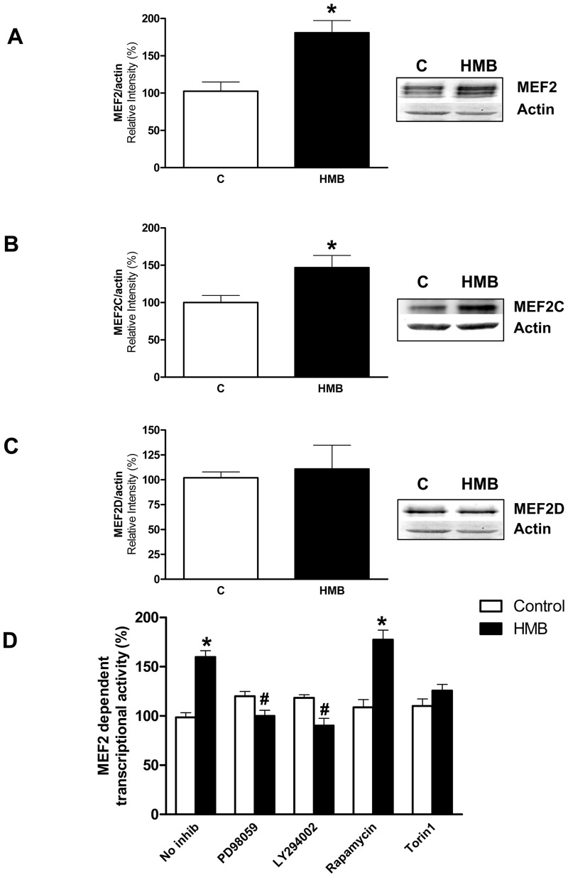 HMB increases MEF2 promoter activity and expression of MEF2 transcription factors. (A-C) The expression levels of MEF2 members were analyzed by western-blot using specific antibodies after 24 h incubation with 25 μM HMB (n = 4). (D) Cells were transiently transfected with a 4xMEF luciferase reported plasmid to evaluate MEF2-dependent transcription. Cells were pre-incubated for 30 min with 10 μM PD98059, 20 μM LY294002, 20 nM rapamycin or 10 nM Torin1, then incubated with 25 μM HMB for 24 h. Inhibitors were maintained during the experiment (n = 12). Results represent means ± SEM. * p