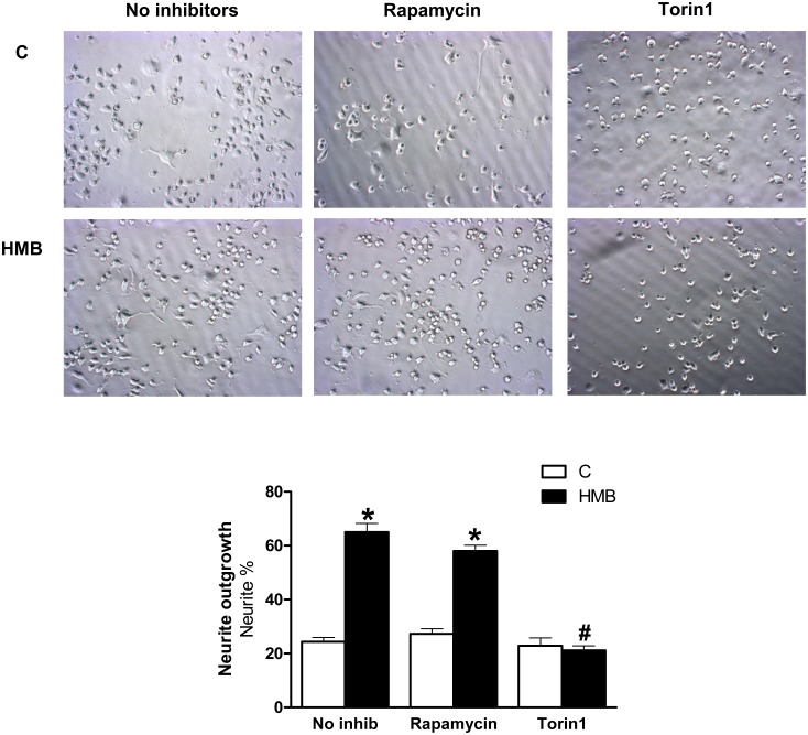 Rapamycin and Torin1 effects on neurite outgrowth in presence of HMB. Cells were pre-treated with rapamycin 20nM or Torin1 10 nM and then treated with 25 μM HMB for 48 h. The inhibitor was maintained during the experiment. Results represent means ± SEM (n = 8). * p