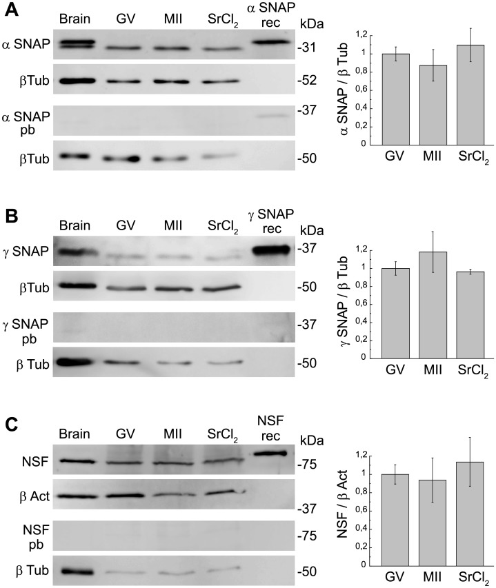 Detection of α-SNAP, γ-SNAP and NSF by Western blot. A .  Left ,  Upper panels : Inmunoblot of α-SNAP: Protein extracts from equal numbers (150) of GV-intact oocytes (GV), MII oocytes (MII) and parthenogenetic activated MII oocytes with 10mM strontium chloride (SrCl 2 ) were separated on a 12% SDS-PAGE gel. Positive controls: mouse brain (Brain, 1.25 μg) and recombinant His6-α-SNAP (α SNAP rec, 5 ng). Immunoblot of β- tubulin (β Tub) was performed as a control of protein loading.  Lower panels : Immunoblot using anti-α-SNAP antibody preabsorbed with full lenght α-SNAP recombinant protein (α SNAP pb).  Right , densitometry analysis of Western blots for α-SNAP (mean ± SEM, n = 4) showing α-SNAP protein expression level (α SNAP/β Tub ratio) relative to GV expression, set as 1.  B .  Left ,  Upper panels : Inmunoblot of γ-SNAP: Protein extracts from equal numbers (300) of GV-intact oocytes (GV), MII oocytes (MII) and parthenogenetic activated MII oocytes with 10mM strontium chloride (SrCl 2 ) were separated on a 12% SDS-PAGE gel. Positive controls: mouse brain (Brain, 6 μg) and recombinant thrombine cleaved γ-SNAP-GST (γ SNAP rec, 0.2 μg). Immunoblot of β- tubulin (β Tub) was performed as a control of protein loading.  Lower panels : Immunoblot using anti-γ-SNAP antibody preabsorbed with γ-SNAP control peptide (γ SNAP pb).  Right , densitometry analysis of Western blots for γ-SNAP (mean ± SEM, n = 3) showing γ-SNAP protein expression level (γ SNAP/β Tub ratio) relative to GV expression, set as 1.  C .  Left ,  Upper panels : Inmunoblot of NSF: Protein extracts from equal numbers (200) of GV-intact oocytes (GV), MII oocytes (MII) and parthenogenetic activated MII oocytes with 10 mM strontium chloride (SrCl 2 ) were separated on a 15% SDS-PAGE gel. Positive controls: mouse brain (Brain, 3,5 μg) and recombinant His6-NSF (NSF rec, 75 ng). Immunoblot of β- actin (β Act) was performed as a control of protein loading.  Lower panels : Immunoblot using anti-NSF antibody preabsor