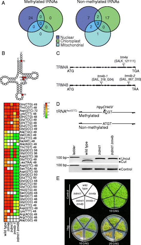 TRDMT1 and TRM4B methylate Arabidopsis nuclear encoded transfer RNAs. a Genomic origins of methylated and non-methylated <t>tRNAs.</t> Methylated tRNAs were only detected from the nuclear genome (3 biological replicates). b Above: clover-leaf representative secondary structure of tRNA indicating in red, the five cytosine positions methylated in wild type. Below: Heatmap showing percentage methylation of all cytosines detected in nuclear tRNAs of wild type, and mutants trdmt1 , trm4a , trm4b-1 and trdmt1 trm4b using RBS-seq. Cytosine positions are indicated next to tRNA isodecoders. White boxes represent cytosine positions with coverage less than five reads. (wild type 3 biological replicates, mutants n = 1). c Genomic structure of trm4a and trm4b mutants showing T-DNA insertions (triangles) in exons (filled boxes). d Analysis of <t>RNA</t> methylation by TRDMT1 at position C38 on BS treated tRNA Asp(GTC) template. Above: Restriction maps of PCR amplified products showing the expected digest patterns of methylated and non-methylated template. Below: Cleavage of PCR amplified product by HpyCH4IV confirms C38 methylation in wild type as opposed to non-methylated C38 in trdmt1 results in loss of HpyCH4IV restriction site. Loading control is undigested PCR product. e Hygromycin B stress assay. Trdmt1 trm4b double mutants and to a lesser extent, trm4b-1 mutants display increased sensitivity to hygromycin B (Hyg) at 10 and 20 days after germination (DAG) compared to controls