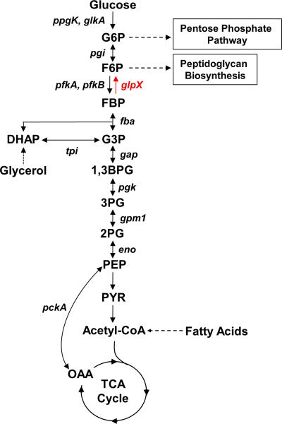 Metabolic schematic of glycolysis and gluconeogenesis GlpX  ( rv1099c ) encodes the only known FBPase in the  Mtb  genome and controls the rate-limiting step of gluconeogenesis. Other enzymes of the gluconeogenesis pathway are encoded by  pckA  (phosphoenolpyruvate carboxykinase),  eno  (enolase),  gpm1  (phosphoglycerate mutase),  pgk  (phosphoglycerate kinase),  gap  (glyceraldehyde 3-phosphate dehydrogenase),  tpi  (triose phosphate isomerase),  fba  (fructose bisphosphate aldolase) and  pgi  (glucose 6-phosphate isomerase). Also shown are  ppgK  (polyphosphate glucokinase),  glkA  (glucokinase) and  pfkA  and  pfkB  (phosphofructokinases), which encode glycolysis-specific enzymes. G6P: glucose 6-phosphate, F6P: fructose 6-phosphate, FBP: fructose 1,6-bisphosphate, DHAP: dihydroxyacetone phosphate, G3P: glyceraldehyde 3-phosphate, 1,3BPG: 1,3-bisphosphoglycerate, 3PG: 3-phosphoglycerate, 2PG: 2-phosphoglycerate, PEP: phosphoenolpyruvate, PYR: pyruvate, OAA: oxaloacetate.