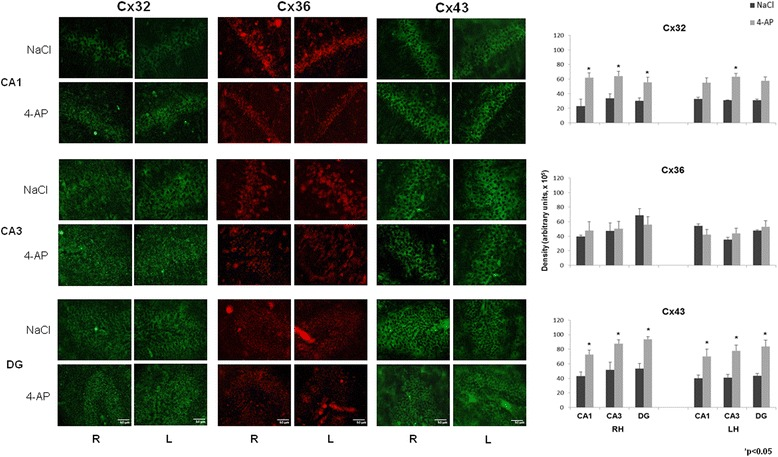 Representative images obtained with immunofluorescence to Cx 32, Cx 36 and <t>Cx</t> 43 in CA1 and CA3 of the right and left hippocampus (RH and LH, respectively) as well as in the dentate gyrus (DG) in the control (NaCl, 0.9 %) and experimental groups (4-AP, 10 nmol). Calibration bar, 50 μm. The right graphs represent the mean ± SEM of the cellular density for Cx 32-, Cx 36-, Cx 43-labelled cells in the three analyzed regions: CA1 and CA3 of the RH and LH, and the DG. Significant differences between the control and experimental groups were assessed with a Student's t -test