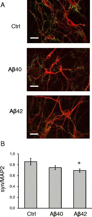 Synaptotoxic effects of amyloid oligomers in primary neuronal cultures. a Primary hippocampal neuronal cultures exposed to Aβ40, Aβ42 or vehicle treated (Ctrl). The cultures were fixed and stained for synaptic marker Synapsin I (green) and neuronal marker MAP2 (red). Scale bar corresponds to 20 μm. b Mean fluorescent intensities of synapsin I staining were divided by mean fluorescent intensities of MAP2 staining for hippocampal cultures treated with Aβ40, Aβ42 or vehicle treated (Ctrl). Average results from three independent experiments are shown. Values are shown as mean ± SEM. *: p