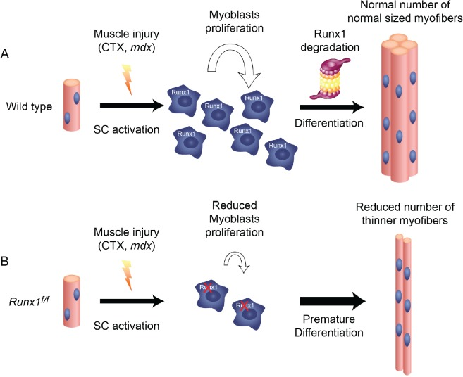 Runx1 is required for myoblast proliferation during muscle regeneration. Schematic diagram summarizing the scenario of Runx1-regulated myoblast proliferation during muscle regeneration: (A) Following myonecrosis of WT muscle, SC are activated, Runx1 is induced and promote proliferation and prevents premature differentiation. Once the critical mass of myoblasts is reached Runx1 is destined to degradation, myoblasts differentiate to produce normal size myofibers. (B) In Runx f/f muscles, myoblasts lack Runx1 expression and therefore undergo premature differentiation. This leads to insufficient myoblast pool size, resulting in reduced number and size of myofibers and impaired muscle regeneration.