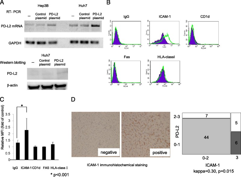 The effect of increased PD-L2 expression on immunological parameters. A, RT-PCR and Western blotting were performed to confirm the efficiency of PD-L2 containing plasmid transfection. The ability of the PD-L2 containing plasmid to induce PD-L2 mRNA expression was confirmed in two cell lines, with the more efficiently transfected Huh7 cells used for confirmation of protein expression. B, Representative flow cytometric analysis of Huh7 cells transfected with PD-L2 containing plasmid (green) and control plasmid (purple). Expressions of Fas, CD1d, HLA-class 1 and intercellular adhesion molecule-1 (ICAM-1) are shown. C, The mean fluorescence intensity (MFI) is presented as fold increase relative to control cells. The data represent mean ± SD of triplicate measurements. D, Immunohistochemical staining pattern of ICAM-1. Left panel is the representative staining pattern of ICAM-1 in liver tissue. Expression intensity was scored as follows: 0, negative; 1, weak expression; 2, moderate expression; 3, strong expression. Right: The concordance coefficients (κ statistics) were used to evaluate agreement between elevated PD-L2 expression and elevated ICAM-1 expression.