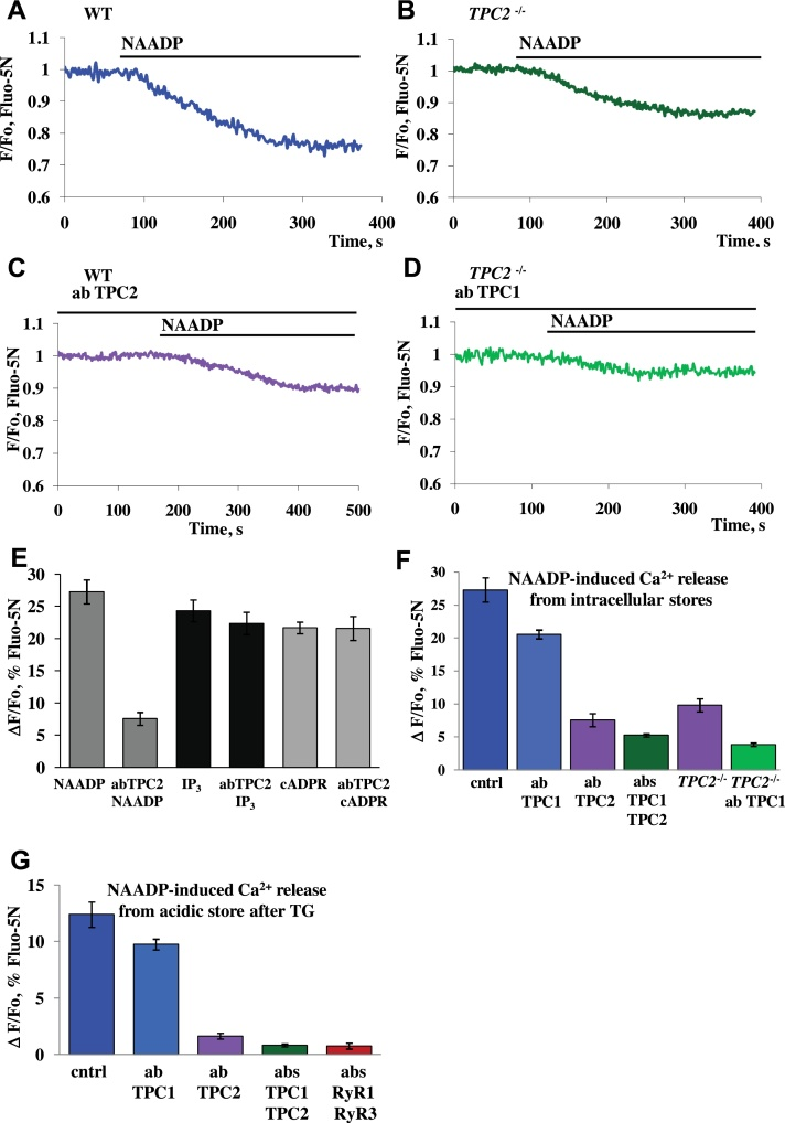 Involvement of TPC2 channels in NAADP-elicited Ca 2+ release. (A) Trace represents an application of 100 nM NAADP to permeabilized cell isolated from wt mouse ( n = 13). (B) Representative trace of application of 100 nM NAADP to permeabilized cell isolated from TPC2-KO mouse ( n = 5). (C) Permeabilized cells from wt mice were pre-incubated with TPC2 antibody (20 min, 1:100) followed by addition of 100 nM NAADP ( n = 8). (D) Representative trace shows typical response to 100 nM NAADP in permeabilized cells from TPC2-KO mice treated with TPC1 antibody (20 min, 1:100) ( n = 11). (E) Comparison of the amplitudes of responses to 100 nM NAADP ( n = 13 control; n = 8 with TPC2 antibody treatment), 10 μM IP 3 ( n = 9 control; n = 8 with TPC2 antibody treatment) or 10 μM cADPR ( n = 9 control; n = 5 with TPC2 antibody treatment) in pre-treated or non-treated cells with antibody against TPC2. (F) Summary of NAADP-elicited Ca 2+ release from the intracellular stores in permeabilized control cells or pre-treated with antibodies against TPC1 (20.6 ± 0.7%, n = 11), or TPC2 (7.6 ± 1%, SEM, n = 8), or mixture of both (5.3 ± 0.2%, n = 4), in wt mice compared to responses in permeabilized cells isolated from TPC2 KO mice and treated (3.9 ± 0.3%, n = 7) or non-treated with TPC1 antibody (9.8 ± 1.0%, n = 5). (G) Summary of results obtained from permeabilized cells treated with 10 μM thapsigargin to deplete ER followed by subsequent application of NAADP (100 nM) in the presence of antibodies against TPC1 (9.8 ± 0.5%, n = 5, p > 0.08), or TPC2 (1.63 ± 0.3%, n = 6), or a mixture of both (0.83 ± 0.1%, n = 6), or a mixture of antibodies against RyR1 and RyR3 (0.75 ± 0.1%, n = 5) as compared to control NAADP responses (12.4 ± 1.1%, n = 5). Error bars represent ± SEM. Cells were loaded with Fluo-5N in AM form.