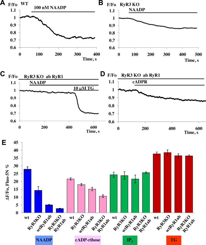 NAADP-elicited Ca 2+ release from intracellular stores was reduced in pancreatic acinar cells isolated from RyR3 KO mice. (A) Control application of NAADP (100 nM) to permeabilized pancreatic acinar cells isolated from wt mice ( n = 12). (B) Application of NAADP (100 nM) to permeabilized pancreatic acinar cells isolated from RyR3 KO mice ( n = 8). (C) Permeabilized cells from RyR3 KO were incubated with RyR1 antibodies for 20 min (1:100) followed by subsequent applications of 100 nM NAADP and 10 μM <t>thapsigargin</t> ( n = 10). (D) Permeabilized cells from RyR3 KO were incubated with RyR1 antibodies for 20 min (1:100) followed by subsequent applications of 10 μM cADPR and 10 μM thapsigargin (10.6 ± 0.9%, n = 9 as compared to control cADPR responses from wt 21.6 ± 0.7, n = 11). (E) Comparison of amplitudes of Ca 2+ responses to NAADP (100 nM), IP 3 (10 μM) and thapsigargin (10 μM) obtained using permeabilized cells from wt mice and RyR3 KO mice in the presence or absence of treatment with antibody against RyR1 ( n > 4 for each group). Data represent mean values ± SEM. Cells were loaded with Fluo-5N AM.