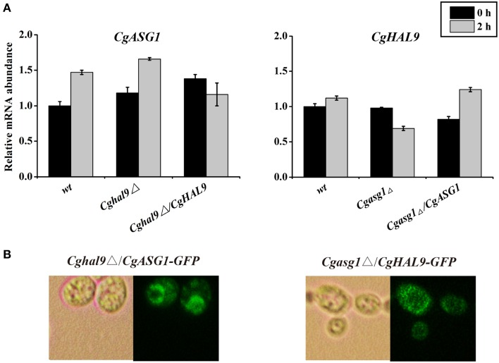 An interaction between CgASG1 and CgHAL9 was tested using quantitative reverse-transcribed PCR (qRT-PCR) and green fluorescent protein (GFP) localization. (A) qRT-PCR was performed on RNA samples of log-phase cells in YNB and YNB-pH 2.0 media to analyze the expression levels of CgASG1 and CgHAL9 in the indicated strains. Results are presented as fold expression relative to the levels of the wild-type β-actin control at 0 and 2-h time points of incubation in YNB and YNB-pH 2.0 media. The means and standard deviations for three independent experiments are shown. (B) Log-phase Cgasg1 Δ/ CgHAL9 - GFP and Cghal9 Δ/ CgASG1 - GFP cells were grown in YNB-pH 2.0 medium for 2 h, and the localization of GFP fusion proteins was determined by fluorescence microscopy.