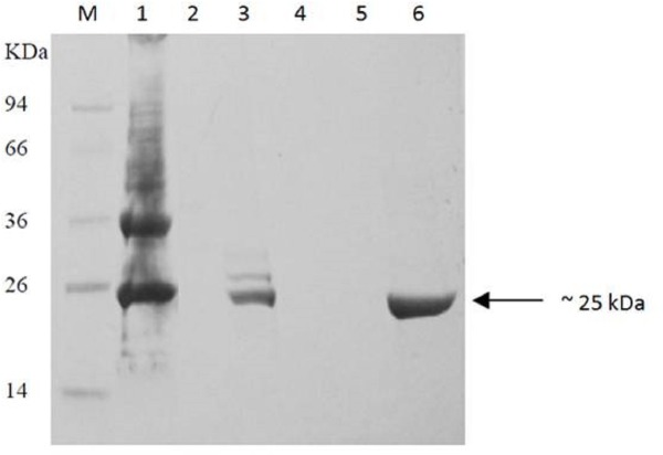 Purification of recombinant BurI protein from insoluble fraction of induced E. coli BL21 harboring pET28a- burI . Lane M, protein marker in kDa; Lane 1, precipitation dissolved in 8M urea; lane 2, flow through; lane 3, resin after elution step; lane 4, wash fraction using 8M urea, lane 5, wash fraction using 8M urea containing 20 mM imidazole; lane 6, eluted fraction using 8M urea containing 500 mM imidazole. The recombinant BurI protein was successfully purified from its inclusion bodies with fairly good purity.