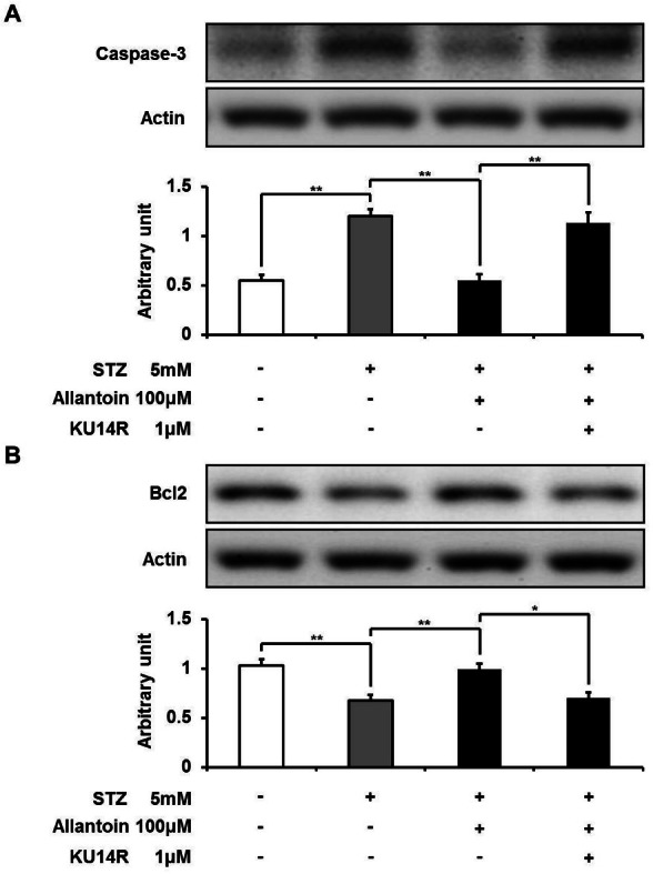 Western blotting analysis of the expression levels of <t>caspase-3</t> and Bcl-2. The expression level of caspase-3 was reduced by allantoin (A), while Bcl2 expression was increased (B) ( n = 6 for each group). Data are presented as the mean ± SE. ∗ P