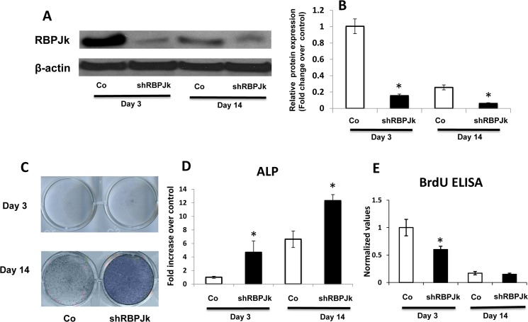 Deletion of RBPJK enhances cell spontaneous differentiation in regular MSC culture. Mesenchymal stem cells were infected with Control shRNA(Co) or RBPJK shRNA (shRBPJK) lentivirus before being harvested for alkaline phosphatase (ALP) staining, western blot, RT-PCR analysis and BrdU ELISA. (A) Western Blot showed a significant decrease of RBPJK protein expression at day 3 and 14 following shRBPJK lentiviral infection. (B) Fold change in protein level of RBPJK in Western blots was determined by measuring band intensity with ImageJ. (C) Deletion of RBPJK resulted in increased ALP staining at days 3 and 14, compared to controls (Co). Scale bars, 100μm. (D) ALP gene expression was increased at days 3 and 14, with maximal increase at day 14 in RT-PCR analysis. (E) BrdU ELISA to monitor both MSCs proliferation at days 3 and 14 after lentiviral infection. Data are means ± s.d. of three independent experiments performed in duplicate and the control gene expression level at day 3 was set at 1. (*, p